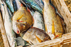 Fish in box Royalty Free Stock Images