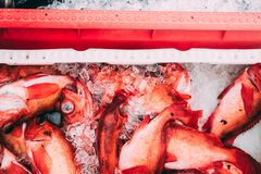 Fish in the boxes of ice in the harbor pier in Iceland. Fresh big fish laying in the yellow boxes of the fisherman, just delivered from the boat in ice with blur Royalty Free Stock Photos