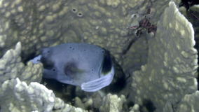 Fish boxfish underwater in ocean of wildlife Philippines. stock footage