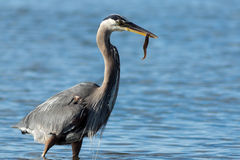 Fish for Breakfeast?. A Great Blue Heron cathces and holds an eel in his beak Stock Image