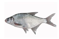 Fish bream Stock Photos