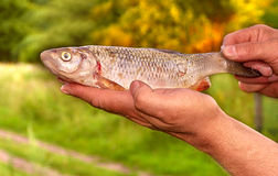 Fish Bream in Fishermen's hands nature Royalty Free Stock Photos