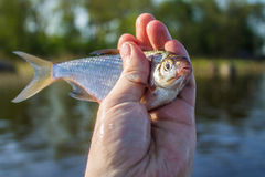 Fish bream in the hand of angler Royalty Free Stock Images