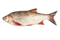 Fish bream. River fish bream on white background isolated Royalty Free Stock Images