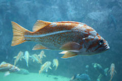 Fish with brown and gold spots in clear water Stock Photos