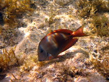 Fish : Brown surgeonfish. This is a Brown surgeonfish in red sea Royalty Free Stock Image