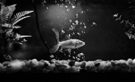 Fish in Bubbles. A goldfish swimming in a tank through bubbles with a black and white filter Stock Images