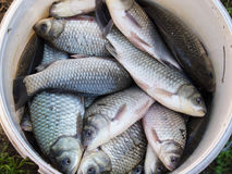 Fish in the bucket Royalty Free Stock Photo