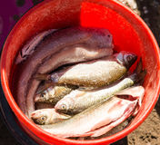Fish in a bucket on a fishing trip.  Stock Photo