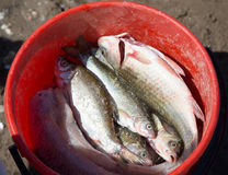 Fish in a bucket on a fishing trip.  Royalty Free Stock Photo