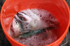 Fish in bucket Stock Photo