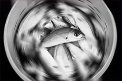 Fish in a bucket with a radial blur. Black and white fresh fish recently caught in a bucket with a radial blur Royalty Free Stock Images