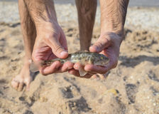 The fish is a bull in the hands. Benthic inhabitant of coastal waters. Stock Photos