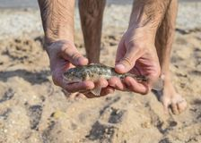 The fish is a bull in the hands. Benthic inhabitant of coastal w Stock Image
