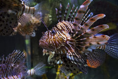 Fish butterfly cod Royalty Free Stock Image