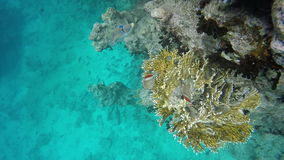 Fish-butterfly searching for food among the corals stock video footage