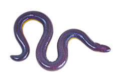 Fish caecilian Stock Image