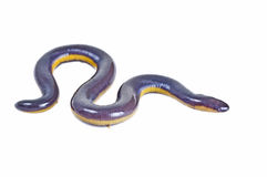 Fish caecilian royalty free stock image