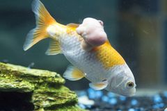 Fish with cancer. Fish with a cancer tumor Stock Photos