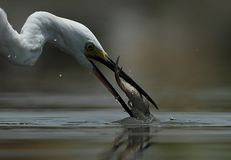 A fish captured by a stork beak. Close up photo of a strok with fish on its beak for dinner late in the evening royalty free stock images