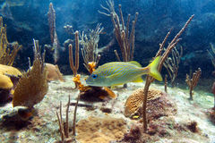 Fish in Caribbean Sea Royalty Free Stock Images