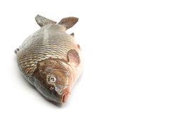 Fish carp Stock Photography