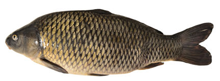 Fish carp Royalty Free Stock Photo