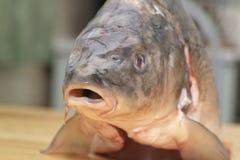 Fish carp. Stock Images
