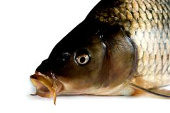 fish carp Stock Photos