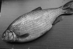 Fish carp Royalty Free Stock Images