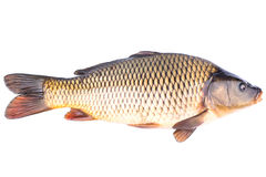 Fish carp. Big live fish carp on a white background Royalty Free Stock Photos