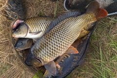 Fish carp in fish net background spring angling. Big fish carp in fish net background seafood spring angling Royalty Free Stock Photos