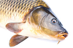 Fish carp Stock Images