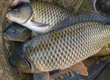Fish carp in fish net Spring angling. Fish carp in fish net - Spring angling fish Royalty Free Stock Photo