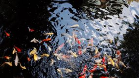Fish Carp in Pond royalty free stock images