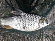 Fish. Carp thailand Royalty Free Stock Photo