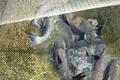 Fish carpenter caught in the net stock photos