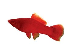 Fish Carries a sword red. Carries a sword red Xiphophorus hellerii Stock Image