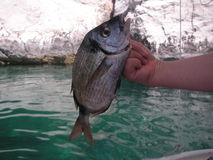 Fish catch. Fisherman´s hand holding a fish. The Adriatic sea in the background Stock Photos