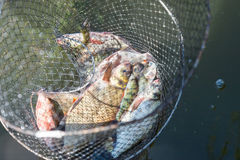 Fish catch in Keep Net. Many bream and perches in mesh bag, which fisherman caught from the river Royalty Free Stock Image