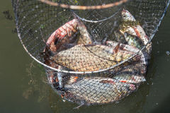 Fish catch in Keep Net. Many bream and perches in mesh bag, which fisherman caught from the river Stock Photo