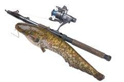 Fish a catfish. River fish a catfish and fishing tackle Royalty Free Stock Photo