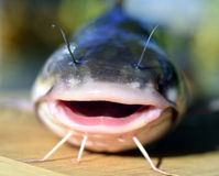 Fish catfish. Royalty Free Stock Images