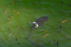 Fish catfish and ide live in ponds to cool the Chernobyl Royalty Free Stock Photography