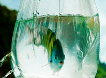 Fish caught in a clear plastic bag Stock Image