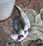 Fish caught closeup Royalty Free Stock Photography