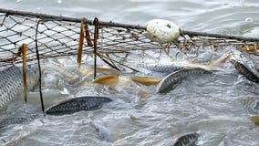 Fish caught fishing net stock video footage