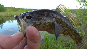 Fish caught on a fishing trip. A fisherman caught the fish, shows his trophy stock footage