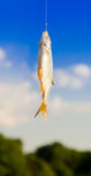 Fish caught on a hook. hanging in the air.  Royalty Free Stock Image