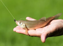 Fish caught on the hook Stock Image